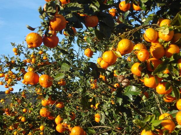 Les arbres fruitiers de la région sud de valence par gérard le